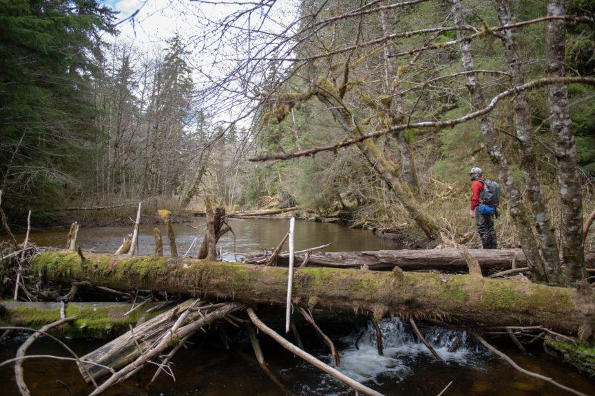 Alaska steelhead coastal stream