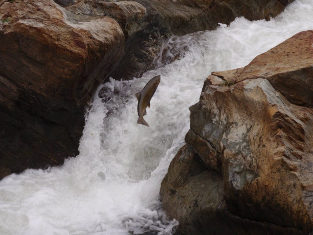 chinook salmon jumping falls